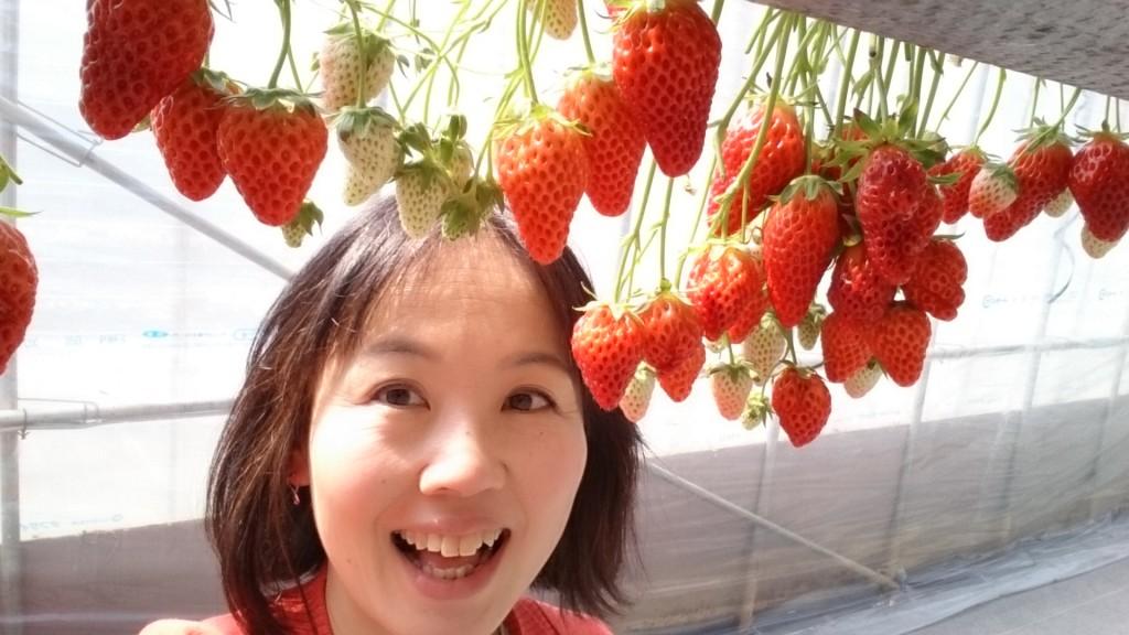 イチゴ狩り限定 熟した苺の見分け方