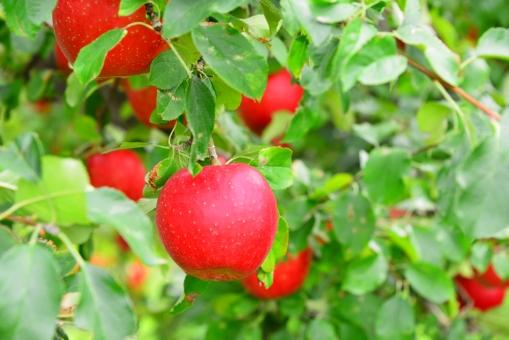 長野県でリンゴジュース作ってきました