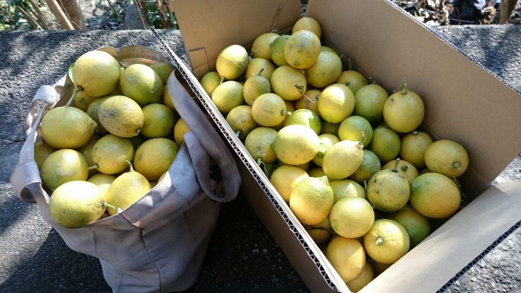 自然農法のレモン、お分けします